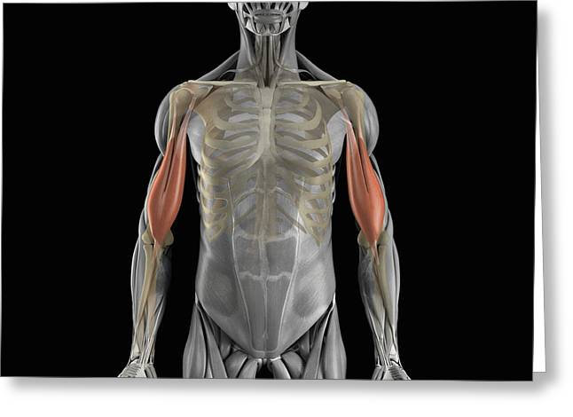 Skeletal Muscle Greeting Cards - The Bicep Muscles Greeting Card by Science Picture Co