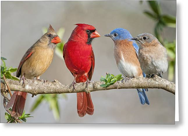 Eastern Bluebird Greeting Cards - The Bluebirds Meet the Redbirds Greeting Card by Bonnie Barry