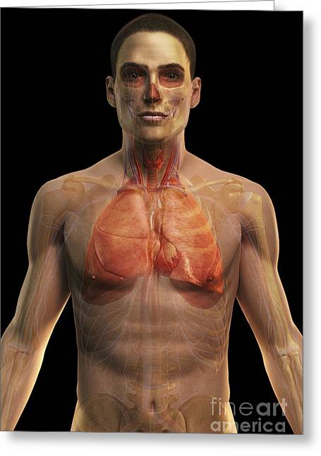 Digital Artery Greeting Cards - The Cardiovascular And Respiratory Greeting Card by Science Picture Co