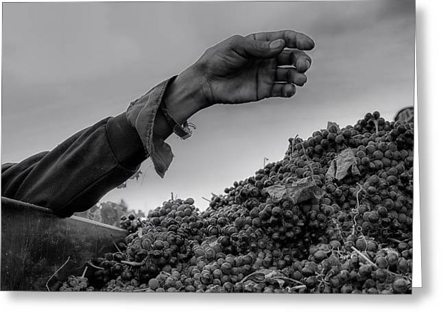 Farm Hand Greeting Cards - The Hand that Picks the Grape Greeting Card by Mountain Dreams