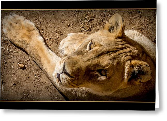 Lioness Greeting Cards - The Lioness Greeting Card by Ernie Echols