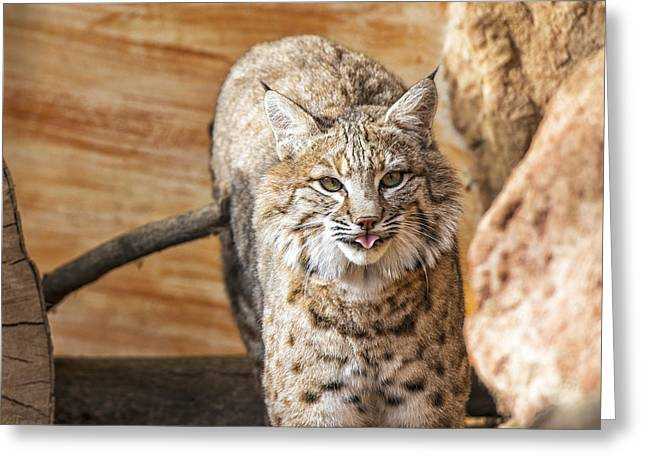 Bobcats Photographs Greeting Cards - The Bobcat Greeting Card by Thomas Schreiter