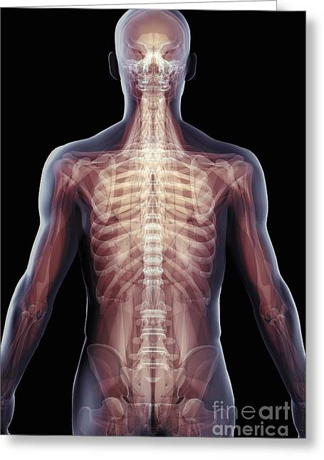 Rib Cage Greeting Cards - The Musculoskeletal System Of The Upper Greeting Card by Science Picture Co