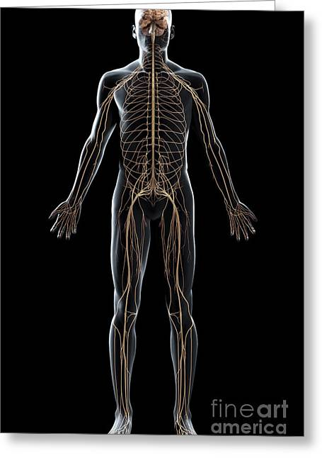Sciatic Nerves Greeting Cards - The Nerves Of The Body Greeting Card by Science Picture Co