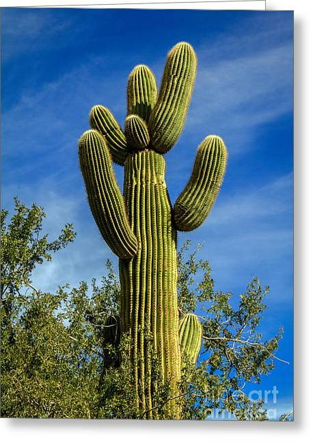 Prick Greeting Cards - The  Saguaro  Greeting Card by Robert Bales