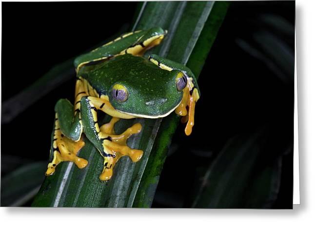 The Splendid Leaf Frog (cruziohyla Greeting Card by Thomas Wiewandt