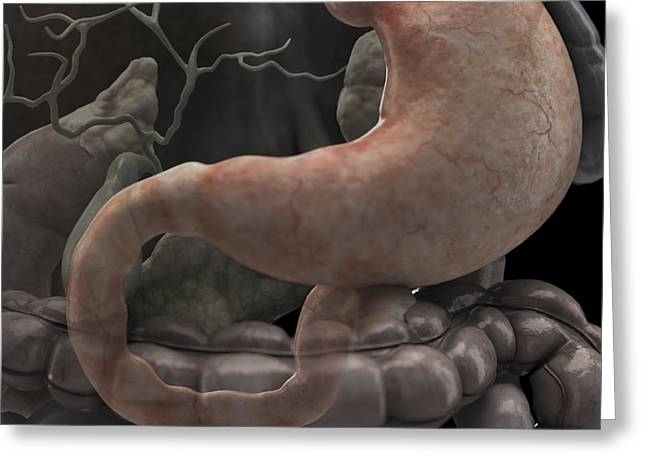 Duodenum Greeting Cards - The Stomach Greeting Card by Science Picture Co