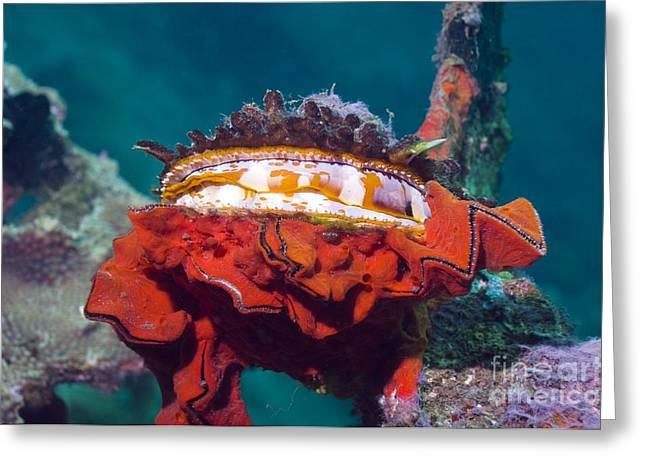 Marine Mollusc Greeting Cards - Thorny Oyster And Red Sponge Greeting Card by Georgette Douwma