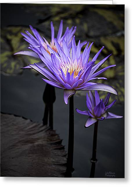 Julie Palencia Photography Greeting Cards - Three Water Lilies Greeting Card by Julie Palencia
