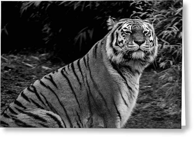 Tiger Portrait Greeting Card by Martin Newman