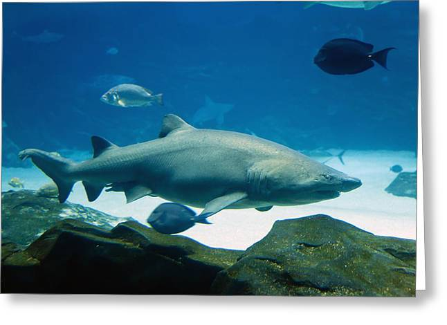 Gills Rock Greeting Cards - Tiger Shark Greeting Card by Alexey Stiop