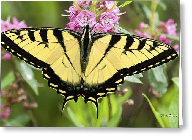 Greeting Card featuring the photograph Tiger Swallowtail Butterfly On Milkweed Flowers by A Gurmankin
