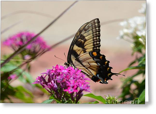 Ruth Housley Greeting Cards - Tiger Swallowtail Butterfly Greeting Card by Ruth  Housley