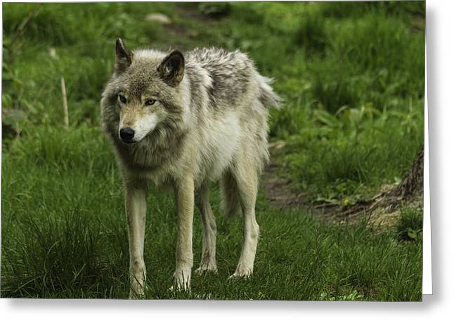 Hairy Wolf Greeting Cards - Timber Wolf Greeting Card by Josef Pittner