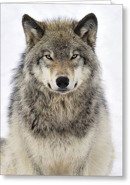 Wolves Greeting Cards - Timber Wolf Portrait Greeting Card by Tony Beck