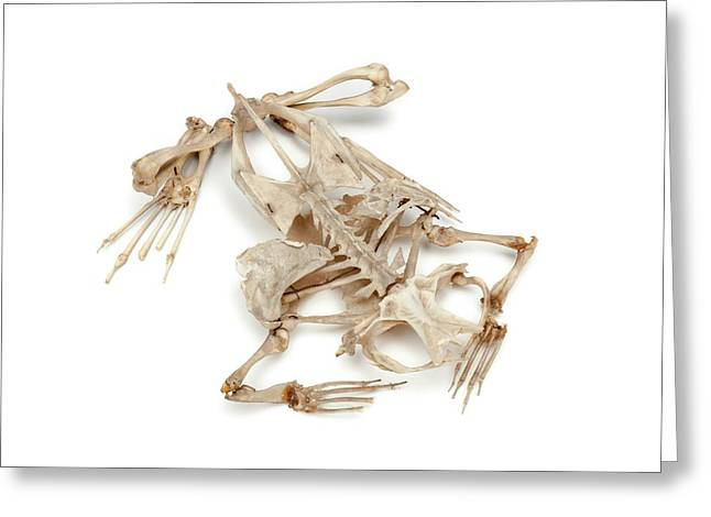 Toad Skeleton Greeting Card by Ucl, Grant Museum Of Zoology