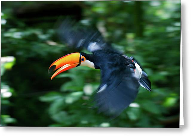 Toco Toucan (ramphastos Toco Greeting Card by Andres Morya Hinojosa