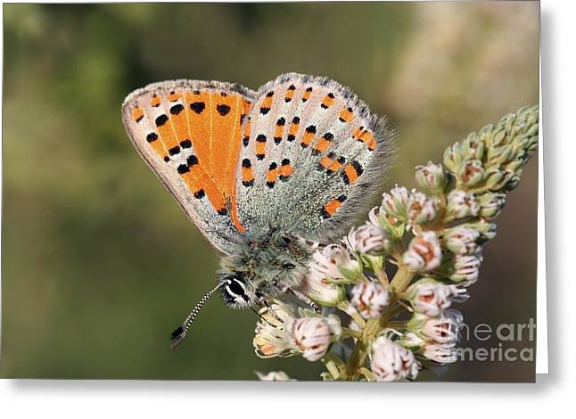 Eating Entomology Greeting Cards - Tomares Nesimachus Butterfly Feeding Greeting Card by PhotoStock-Israel