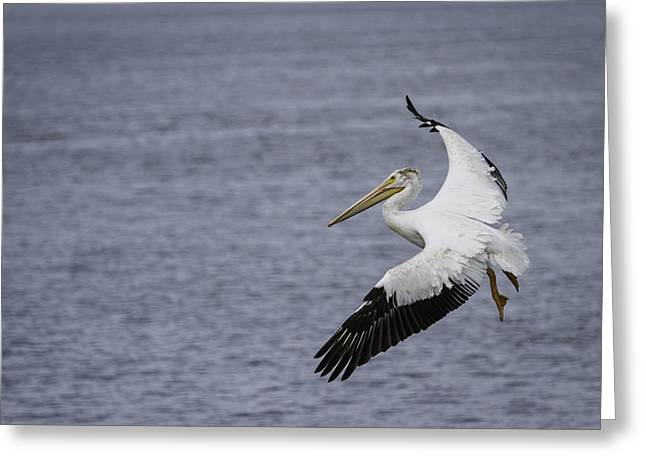 Flying White Pelicans Greeting Cards - Touching Down Greeting Card by Thomas Young