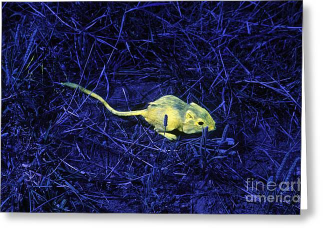 Ultraviolet Light Greeting Cards - Tracking Kangaroo Rats With Fluorescence Greeting Card by James L. Amos