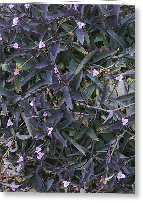 Tradescantia Greeting Cards - Tradescantia pallida Purple Heart Greeting Card by Science Photo Library