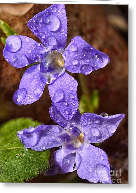 Myrtle Greeting Cards - Trailing Myrtle and Raindrops Greeting Card by Thomas R Fletcher