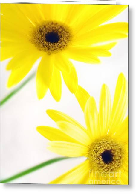 Barberton Daisy Greeting Cards - Transvaal Daisies Gerbera Jamesonii Greeting Card by Maria Mosolova