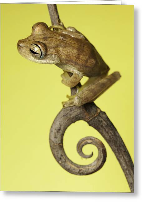 Tree Frog Greeting Cards - Tree Frog On Twig In Background Copyspace Greeting Card by Dirk Ercken