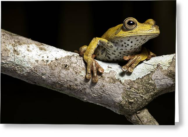 Tree Frog Greeting Cards - Tree Frog On Twig In Rainforest Greeting Card by Dirk Ercken