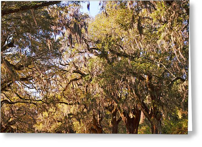 Moss Greeting Cards - Trees Covered With Spanish Moss, Boone Greeting Card by Panoramic Images