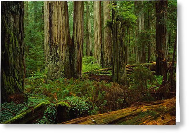 Low Section Greeting Cards - Trees In A Forest, Hoh Rainforest Greeting Card by Panoramic Images