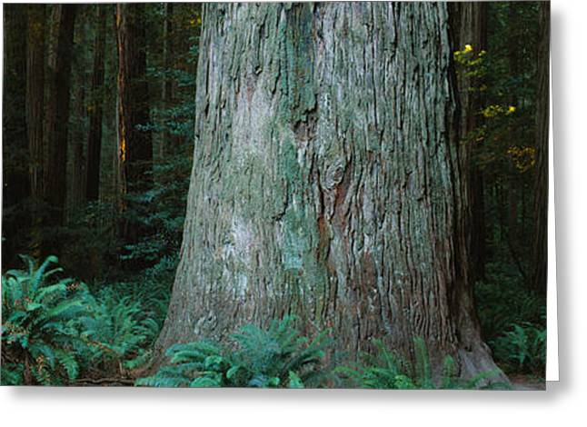 Famous State Parks Greeting Cards - Trees In A Forest, Jedediah Smith Greeting Card by Panoramic Images
