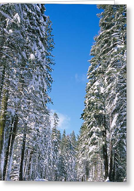 Tall Trees Greeting Cards - Trees On Both Sides Of A Snow Covered Greeting Card by Panoramic Images