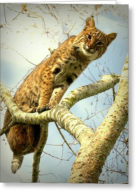 Bobcats Photographs Greeting Cards - Treetop Bobcat Greeting Card by Myrna Bradshaw