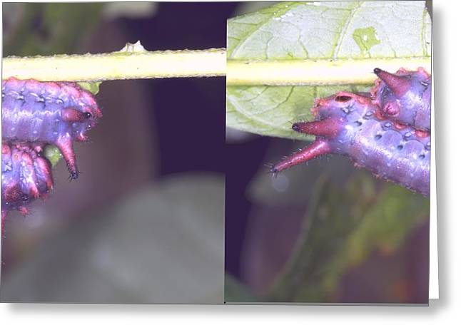 Eating Entomology Greeting Cards - Tropical caterpillars Greeting Card by Science Photo Library