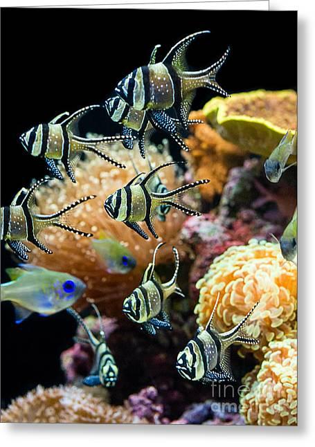 Hovering Greeting Cards - Tropical Wonderland - Banggai cardinalfish Greeting Card by Jamie Pham
