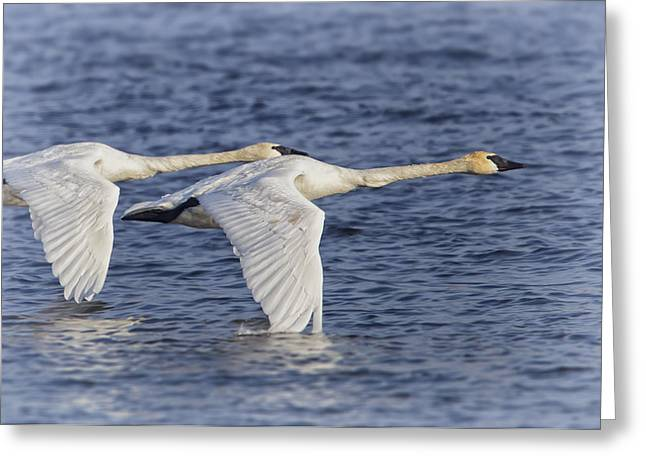 White River Digital Art Greeting Cards - Trumpeter Swans Greeting Card by Al  Mueller