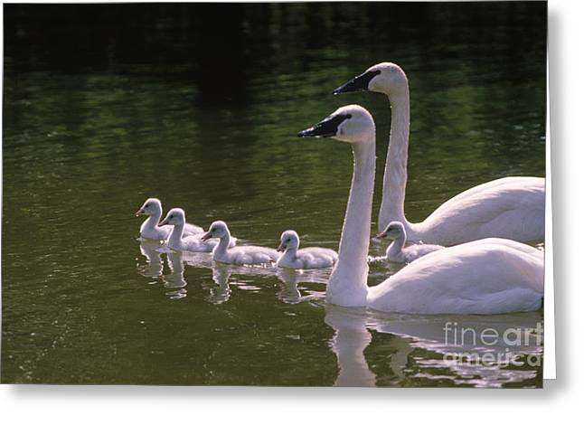 Baby Bird Greeting Cards - Trumpeter Swans Greeting Card by Mark Newman