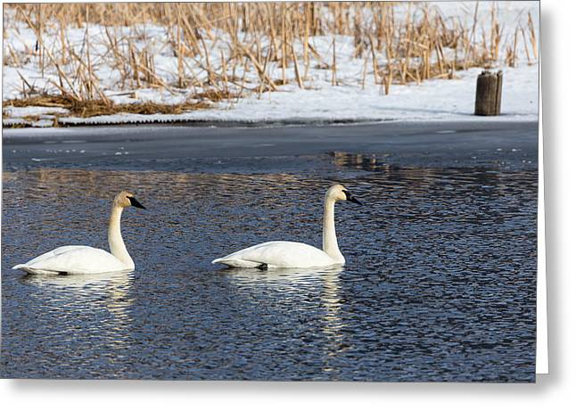 Swans... Greeting Cards - Trumpeter Swans Greeting Card by Michael Chatt