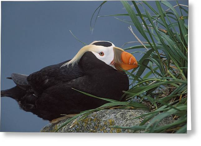 Ledge Photographs Greeting Cards - Tufted Puffin Perched On Rock Ledge Greeting Card by Milo Burcham