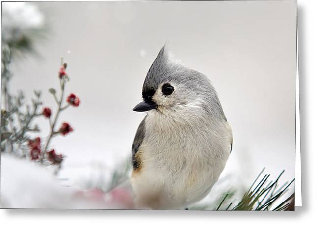 Gray Bird Greeting Cards - Tufted Titmouse Square Greeting Card by Christina Rollo