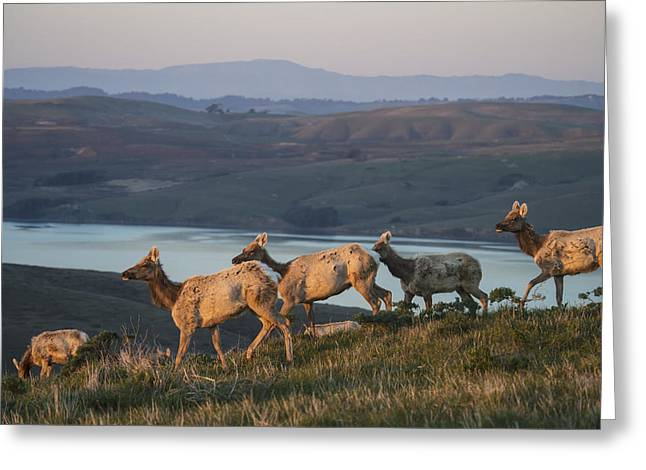 Tule Elks Greeting Cards - Tule Elk Cervus Canadensis Ssp Greeting Card by Mark Newman