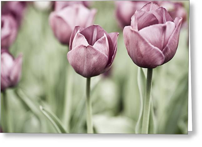 Tulip Garden Greeting Cards - Tulip Garden Greeting Card by Frank Tschakert