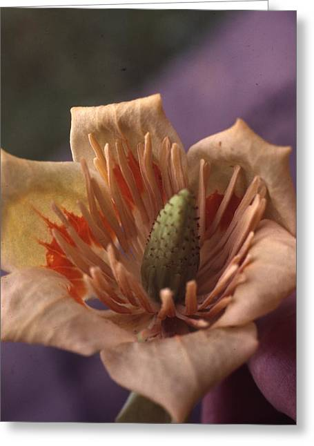 Tulip Tree Flower Greeting Card by Retro Images Archive