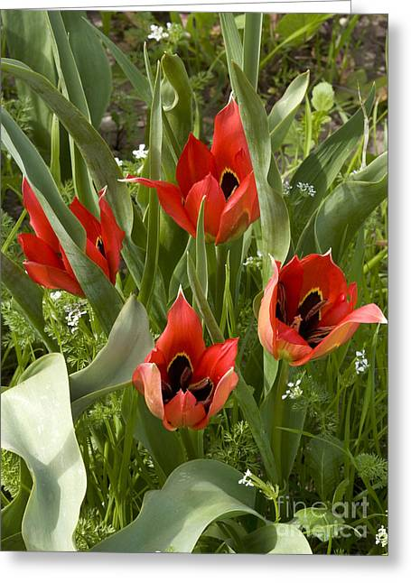 Chios Greeting Cards - Tulip Tulipa Agensis Greeting Card by Bob Gibbons