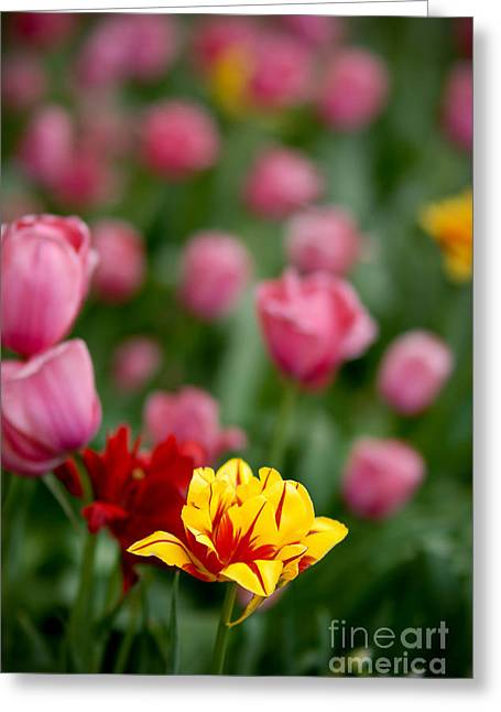 In Depth Greeting Cards - Tulips Greeting Card by Amy Cicconi