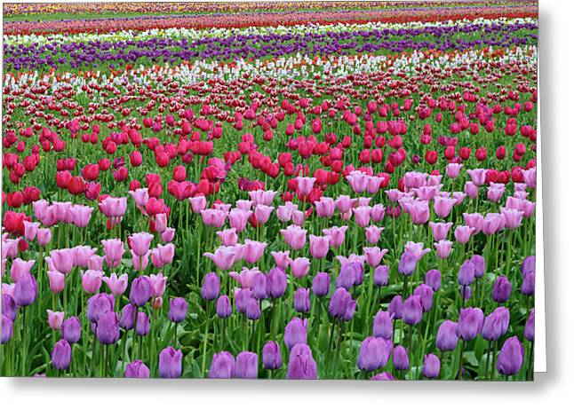 Tulips At Wooden Shoe Tulip Farm Greeting Card by Panoramic Images