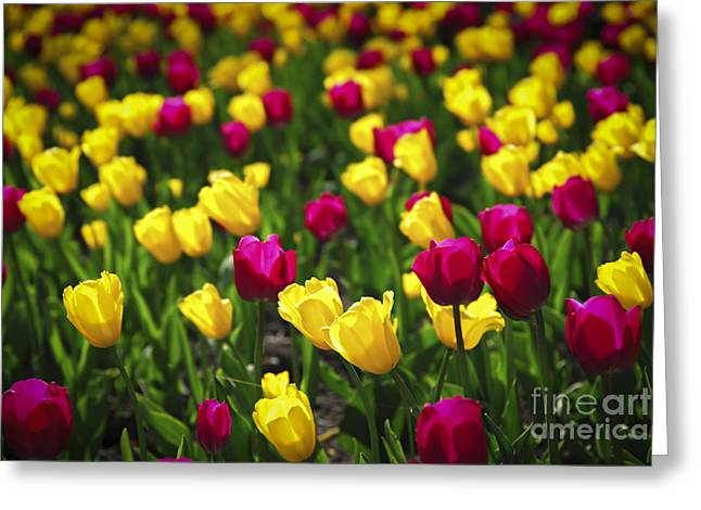 Tulip Fields Greeting Cards - Tulips Greeting Card by Elena Elisseeva