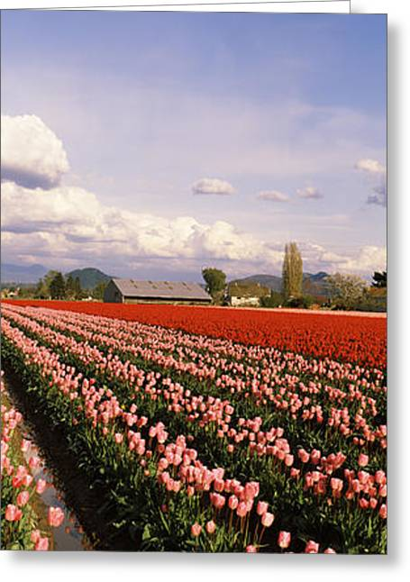 Skagit Valley Greeting Cards - Tulips In A Field, Skagit Valley Greeting Card by Panoramic Images