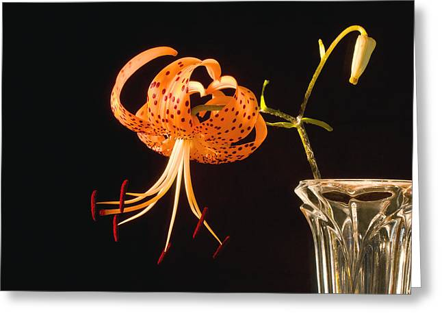 Lilium Greeting Cards - Turks-Cap lilly Lilium Superbum Greeting Card by Keith Webber Jr